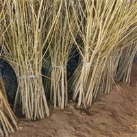大量供应秋红李子苗-1公分李子苗品种介绍