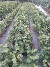 葡萄苗 玫瑰香葡萄苗价格 玫瑰香葡萄苗基地