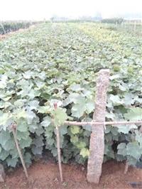 葡萄苗供应商  葡萄苗供应基地