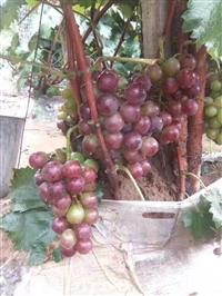 批发葡萄苗  基地葡萄苗  价格葡萄苗  优质葡萄苗