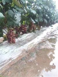葡萄苗哪里卖  出售葡萄苗厂家  葡萄苗直销价格