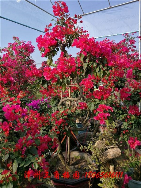 S型红色花三角梅盆景 高度170-200CM