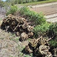 苗圃直供 云杉树苗批发 云杉价格 抗寒抗寒适应性强 易成活