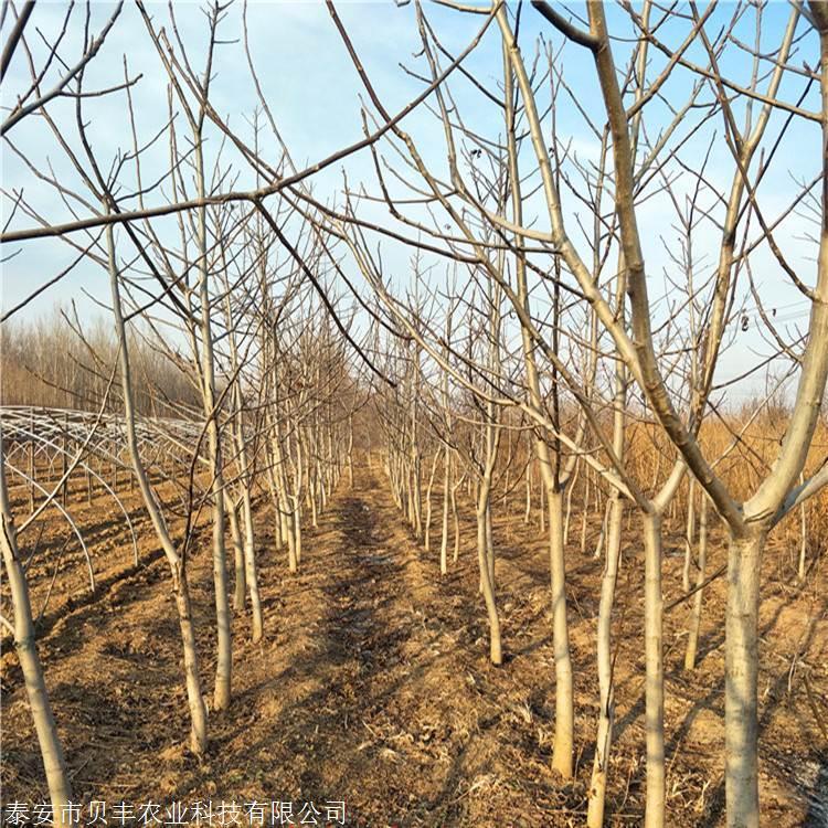 一米以上核桃苗哪里出售-香玲嫁接核桃苗栽植株行距