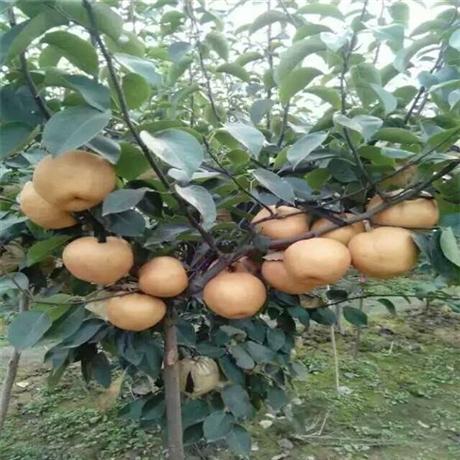 3公分早红酥梨树苗几年结果 秋月梨树苗批发价格