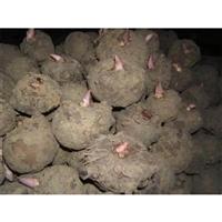 盘龙魔芋种子  黄魔芋葡甘露聚糖含量  贵州魔芋种植基地