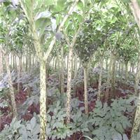 威宁魔芋种子  珠芽魔芋栽培技术  四川眉山魔芋种植基地