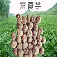 盘龙魔芋种子  珠芽魔芋种子如何存储  贵州省魔芋种植基地