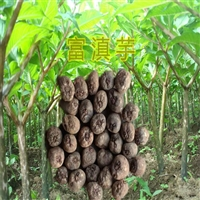 织金魔芋种子  黄魔芋价格  毕节魔芋种植基地