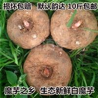 华宁魔芋种子  珠芽魔芋多苗接力生长  四川巴中魔芋种植基地