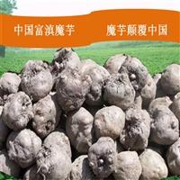 昭阳魔芋种子  珠芽黄魔芋种植前景  四川绵阳魔芋种植基地