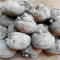 五华魔芋种子  珠芽魔芋适合海拔  四川巴中魔芋种植基地