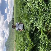 富宁魔芋种子  弥勒珠芽魔芋亩产量  魔芋种子供应商