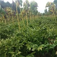 平塘魔芋种子  珠芽魔芋种植前景如何  魔芋种子哪里买
