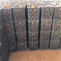 绥阳魔芋种子  珠芽魔芋种子  昆明魔芋种植基地