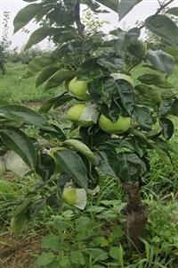 蘇翠一號梨樹苗哪里有、梨樹推薦品種