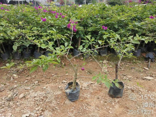 紫色花 三角梅