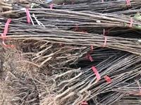秋月梨樹苗供應價格、梨樹苗熱賣促銷