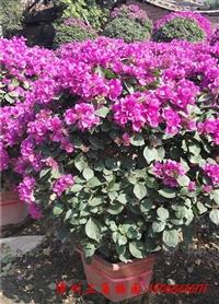 紫色花三角梅球 高度80 110CM
