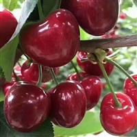 大樱桃苗  樱桃苗报价  樱桃苗多少钱  樱桃苗品种