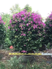 紫色三角梅球  高1.3/1.5m  冠1.2/1.5m