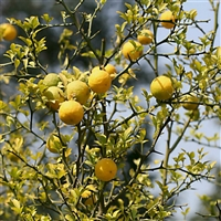 泰山红油板栗苗哪里有卖的2年板栗苗价格板栗苗品种
