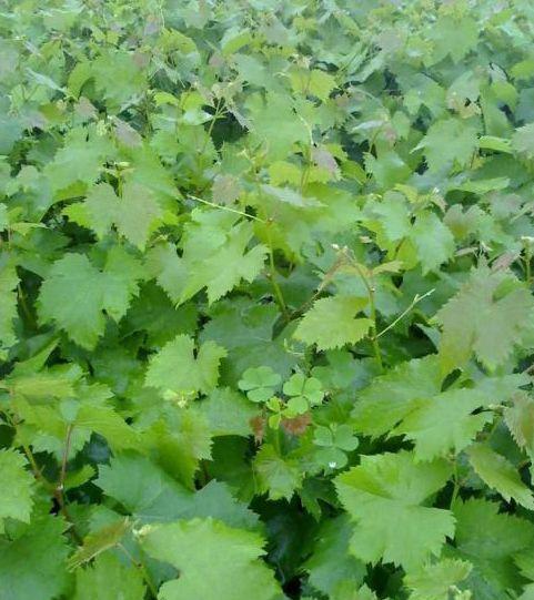 优质葡萄苗 葡萄苗木价格 新品种葡萄苗出售