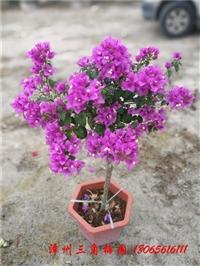 花仙子粉色小精灵/塔紫 高度50-70CM