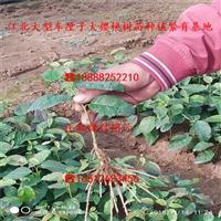 出售矮化沙王大樱桃树苗批发多钱、矮化沙王大樱桃树苗多少钱一株