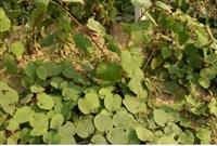 软枣猕猴桃苗供应 供应猕猴桃苗 猕猴桃苗几年结果 猕猴桃苗培育