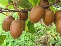 猕猴桃苗基地 一亩地种植多少棵猕猴桃苗  猕猴桃苗价格供应