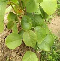 软枣猕猴桃苗  猕猴桃苗价格 猕猴桃苗出售 猕猴桃苗产地