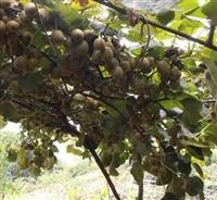猕猴桃苗基地直销  猕猴桃苗基地批发  猕猴桃苗基地报价