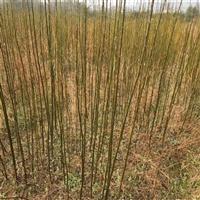 1-12公分苦楝树苗木批发 苦楝树种子产地供应