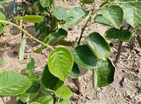 供应猕猴桃苗  猕猴桃苗出售  猕猴桃苗育苗产地