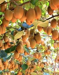 黄金果猕猴桃苗  猕猴桃苗厂家  优质猕猴桃苗销售基地