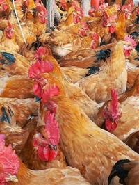 貴州土雞苗批發 麻黃雞苗價格 K99雞苗 新廣K902雞苗 882雞苗供應