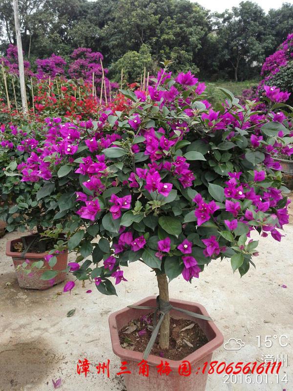 紫色花三角梅球  高度50/80CM 下等