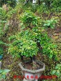 红色花三角梅盆景   高度50-150CM
