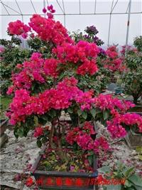 红色花三角梅盆景 高度150-200CM