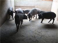 湖北哪里有苏太猪出售 今日仔猪价格行情