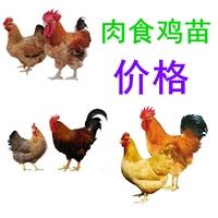 优质肉食鸡苗价格批发,肉食鸡苗价格批发养殖场,肉食鸡苗价格价