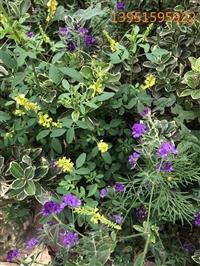 种植紫花苜蓿 黑麦草 草木犀等牧草