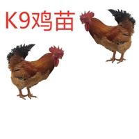 厂家供应K9鸡苗,孵化场K9鸡苗批发,K9鸡苗价格优惠质量保证