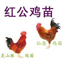 优质红公鸡苗批发,红公鸡苗批发养殖场,红公鸡苗价格孵化厂家