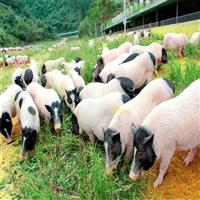 大型养殖场供应巴马香猪苗 巴马香猪养殖条件要求鸿泽牧业