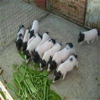 大型养殖场供应巴马香猪苗 江西巴马香猪养殖基地鸿泽牧业