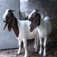 养殖场供应波尔山羊公羊  波尔山羊种羊价格表鸿泽牧业