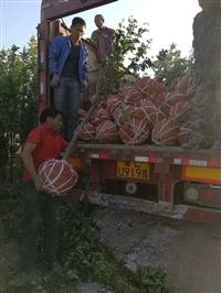 苹果树种植基地 山西苹果树报价3.4.5.6公分苹果树规格