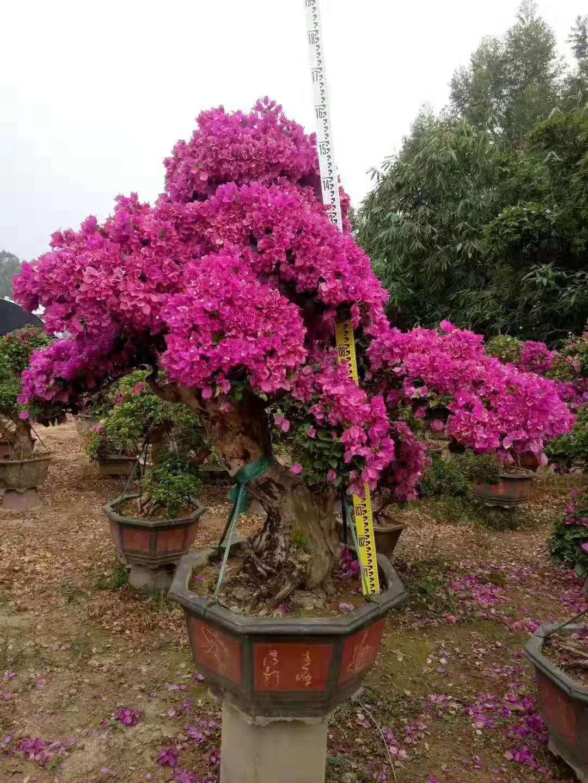 紫色花三角梅盆景